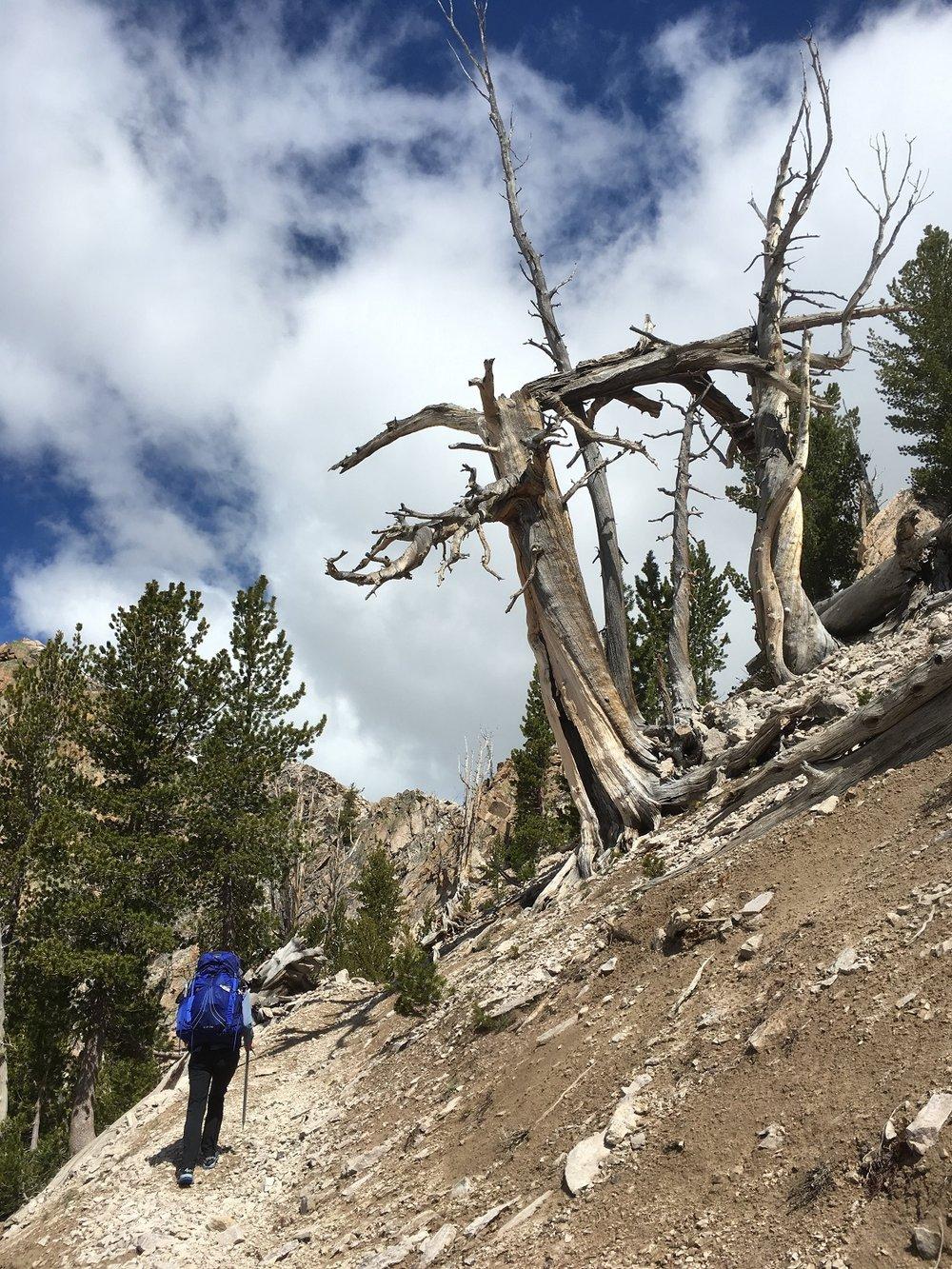 Whitebark pines