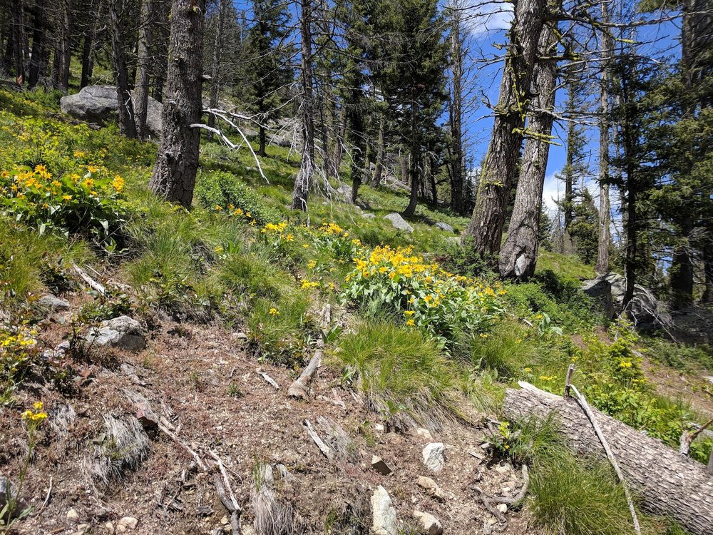 Forested slopes above Iron Creek blanketed with the ubiquitous arrowleaf balsamroot