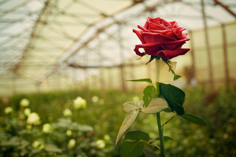 BARAKA ROSES 022.jpg