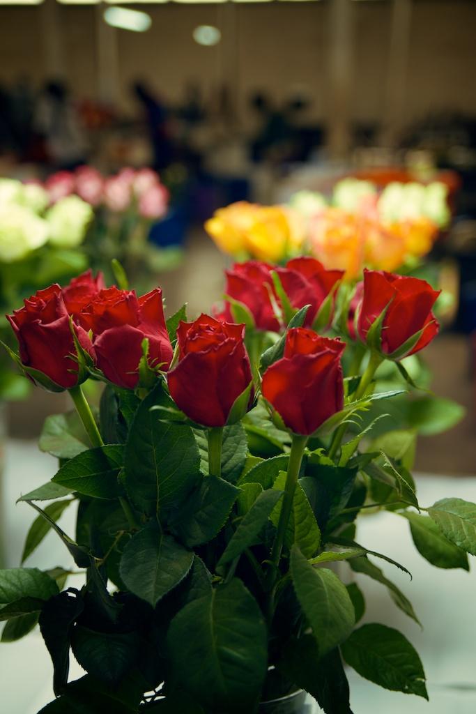 BARAKA ROSES 058.jpg