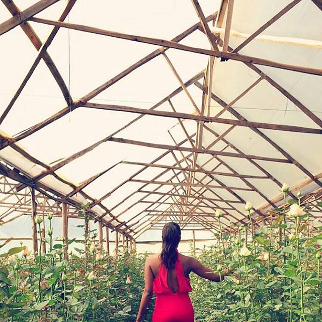 Surrounded by Magic Avalanche roses.  #tbt to when @this_is_ess paid us a visit late last year.  #repost #lifeisbeautiful #barakaroses #greenhouse