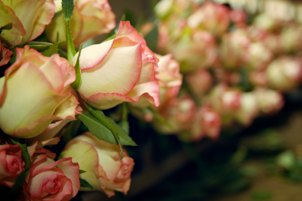 Caring For Cut Roses Baraka Roses