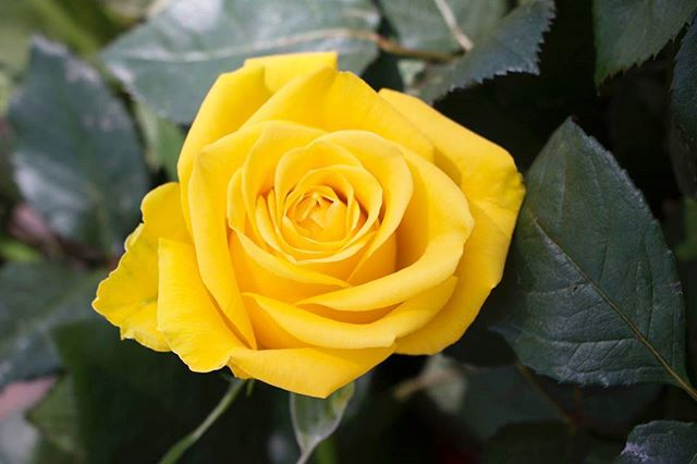 """Rose of the day: """"Royal Yellow"""". Royal (adjective): """"of a quality or size suitable for a king or queen; splendid""""....and splendid this rose is indeed! How stunning is this colour and size? • •📷:@nemokami • #BarakaRoses #RoyalYellow #RoseOfTheDay #Roses #Flowers #Royal #Beautiful #InstaPhoto #InstaFave #InteriorDesign #Florist #Yellow #YellowRose #Kenya #Nature #Variety #Bright #Spring"""