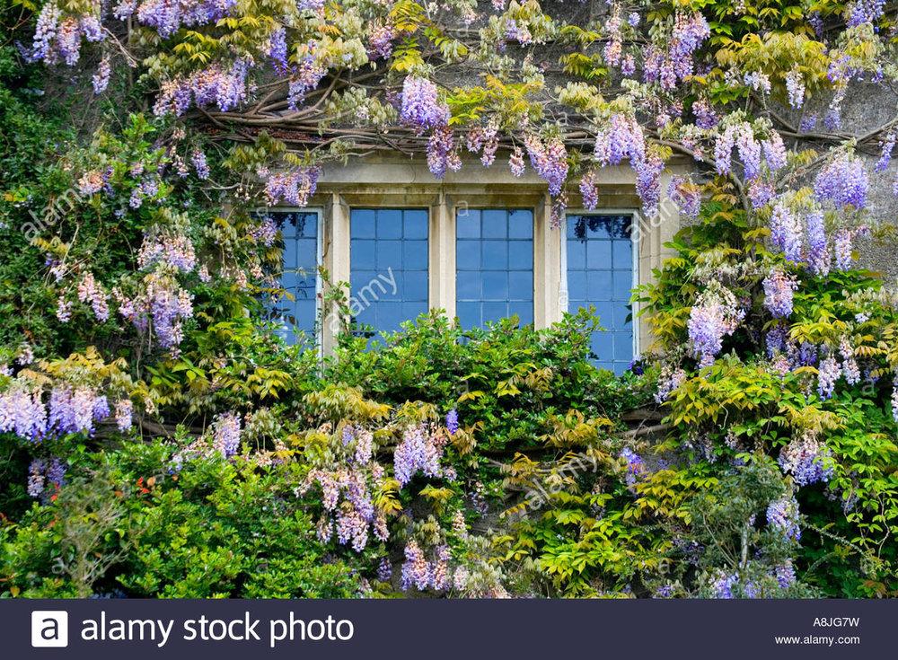 wisteria-around-mullioned-window-at-abbey-house-gardens-malmesbury-A8JG7W.jpg