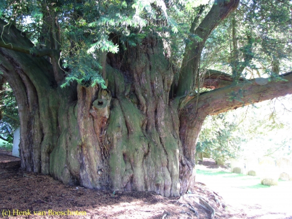 The Magic of the Great Yew