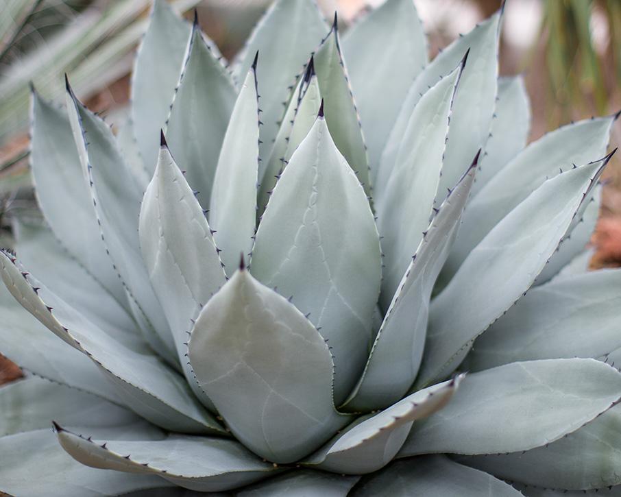 agave-oklahoma-will-rogers-gardens