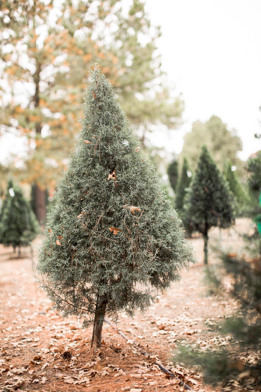 Sorghum-Mill-Christmas-Tree-Farm-Edmond-20.jpg