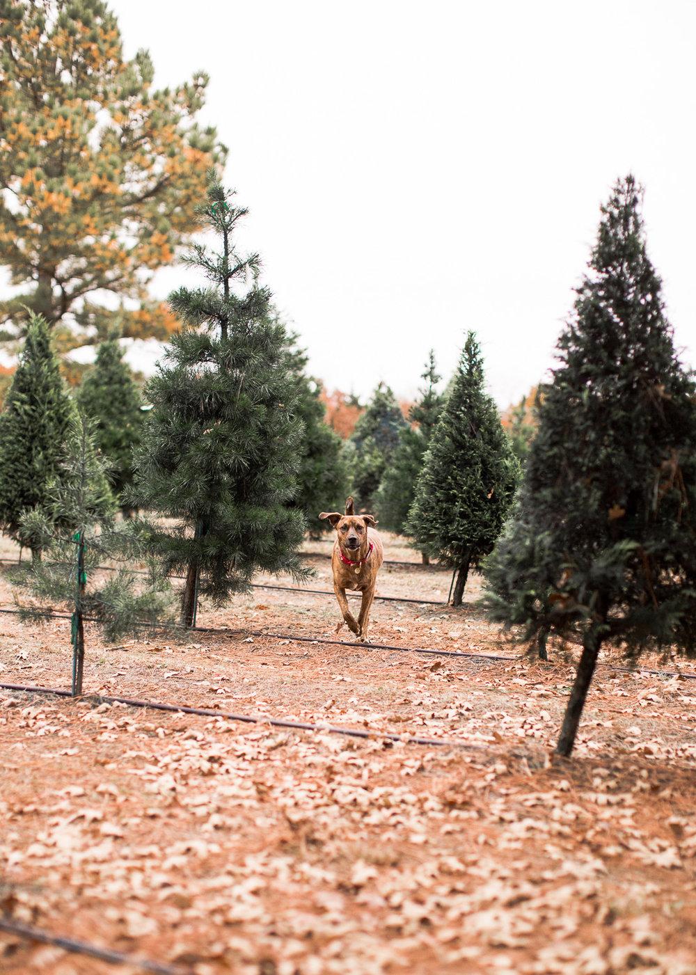Sorghum-Mill-Christmas-Tree-Farm-Edmond-21.jpg