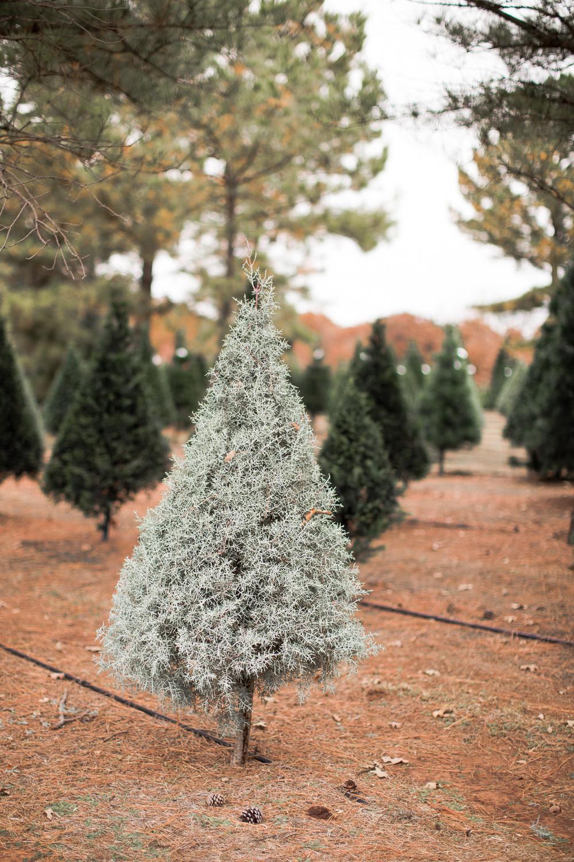 Sorghum-Mill-Christmas-Tree-Farm-Edmond-34.jpg