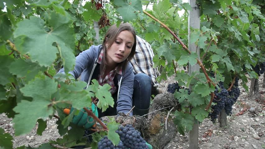 wine harvest_woman.jpg