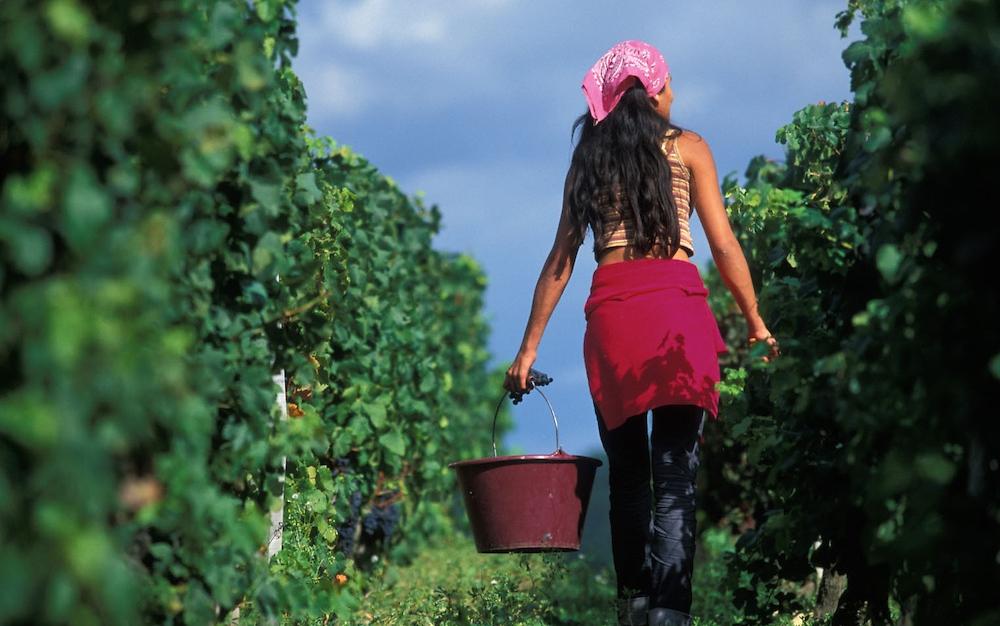 Wine-harvest-Chateau-Figeac.jpg