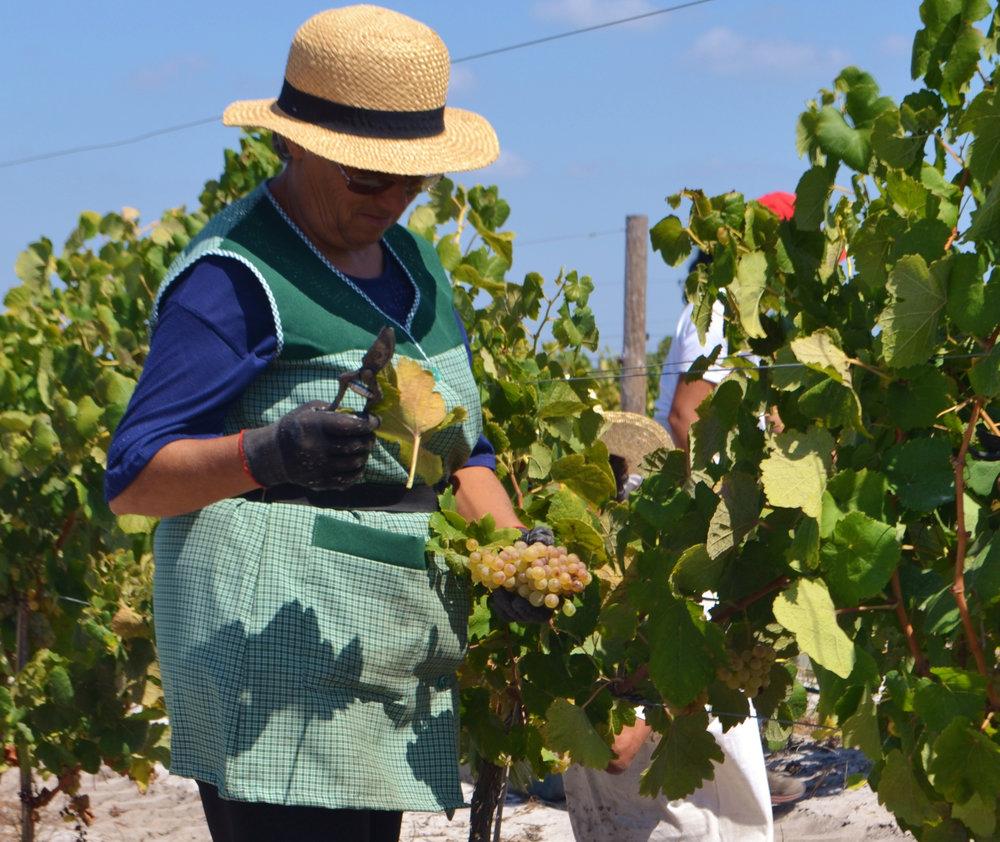 harvest team member. photo courtesy of  Brejinho da Costa
