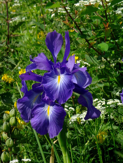 An iris in the garden becomes ...