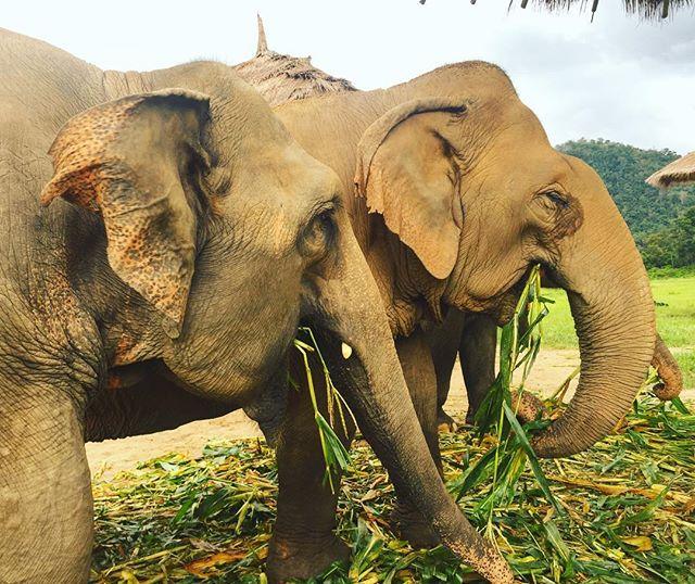 Such beautiful, beautiful gentle and sweet creatures. Absolutely amazing! #SanTranTravels #elephants #elephantnaturepark #animalconservation