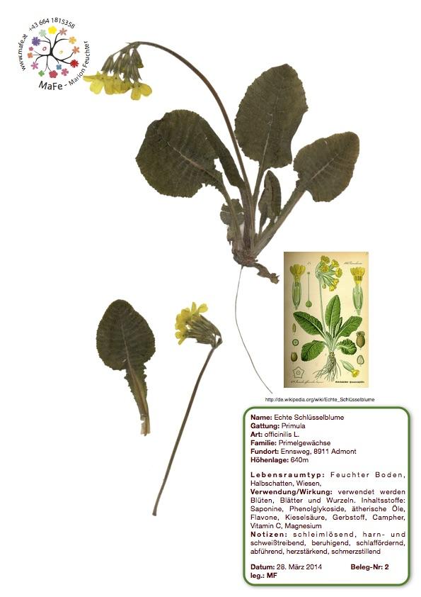 Herbarium Nr.2 - Schlüsselblume