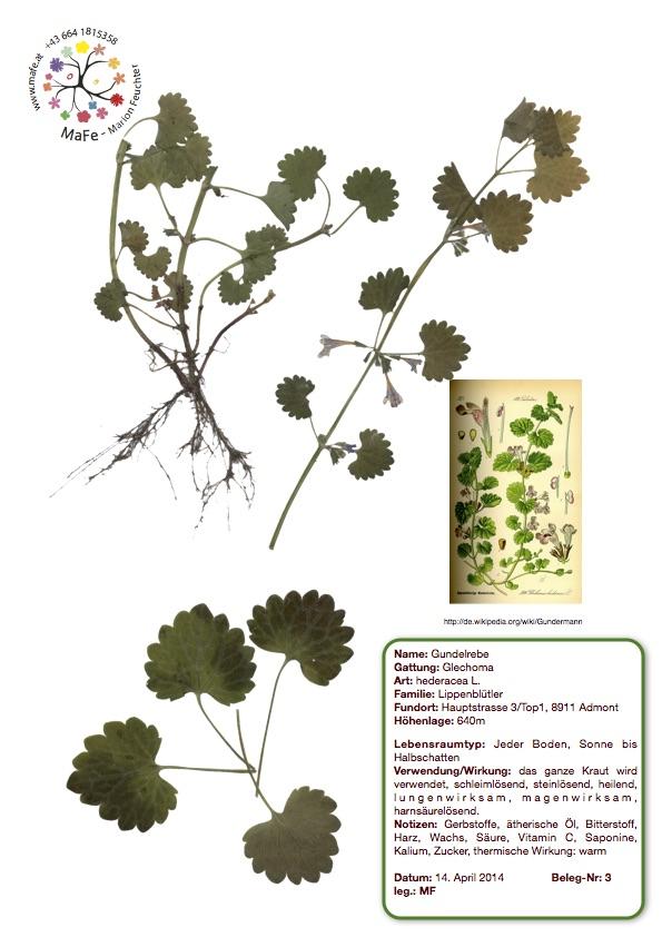 Herbarium Nr. 3 - Gundelrebe