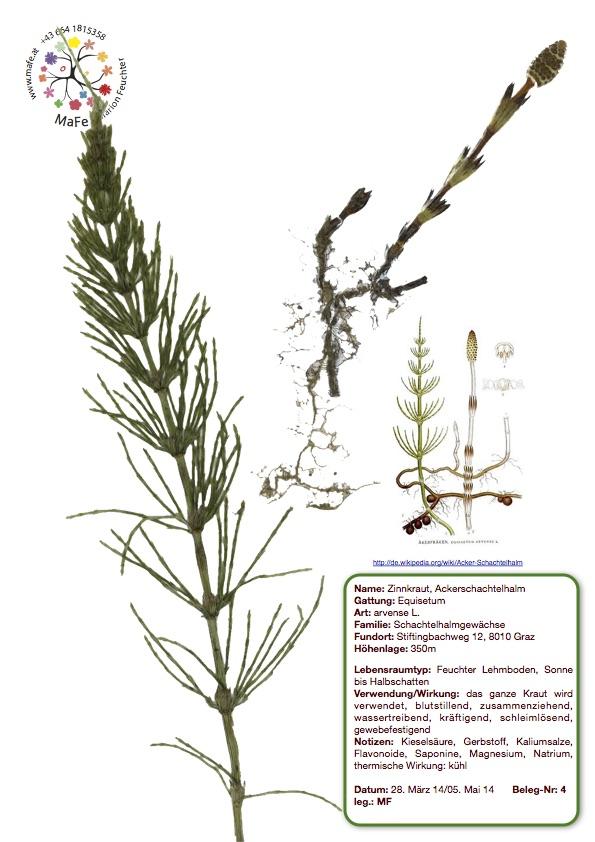 Herbarium Nr. 4 - Ackerschachtelhalm, Zinnkraut