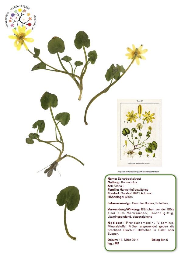 Herbarium Nr. 5 - Scharbockskraut