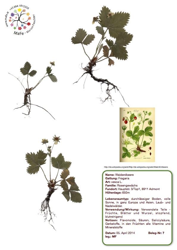 Herbarium Nr. 7 - Walderdbeere
