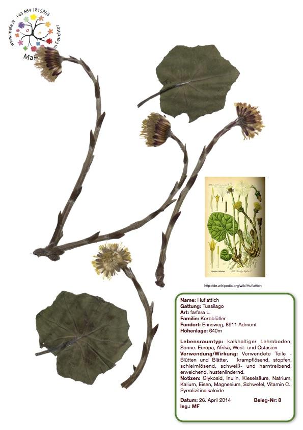 Herbarium Nr. 8 - Huflattich