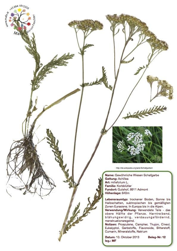 Herbarium Nr. 12 - Wiesen Scharfgarbe