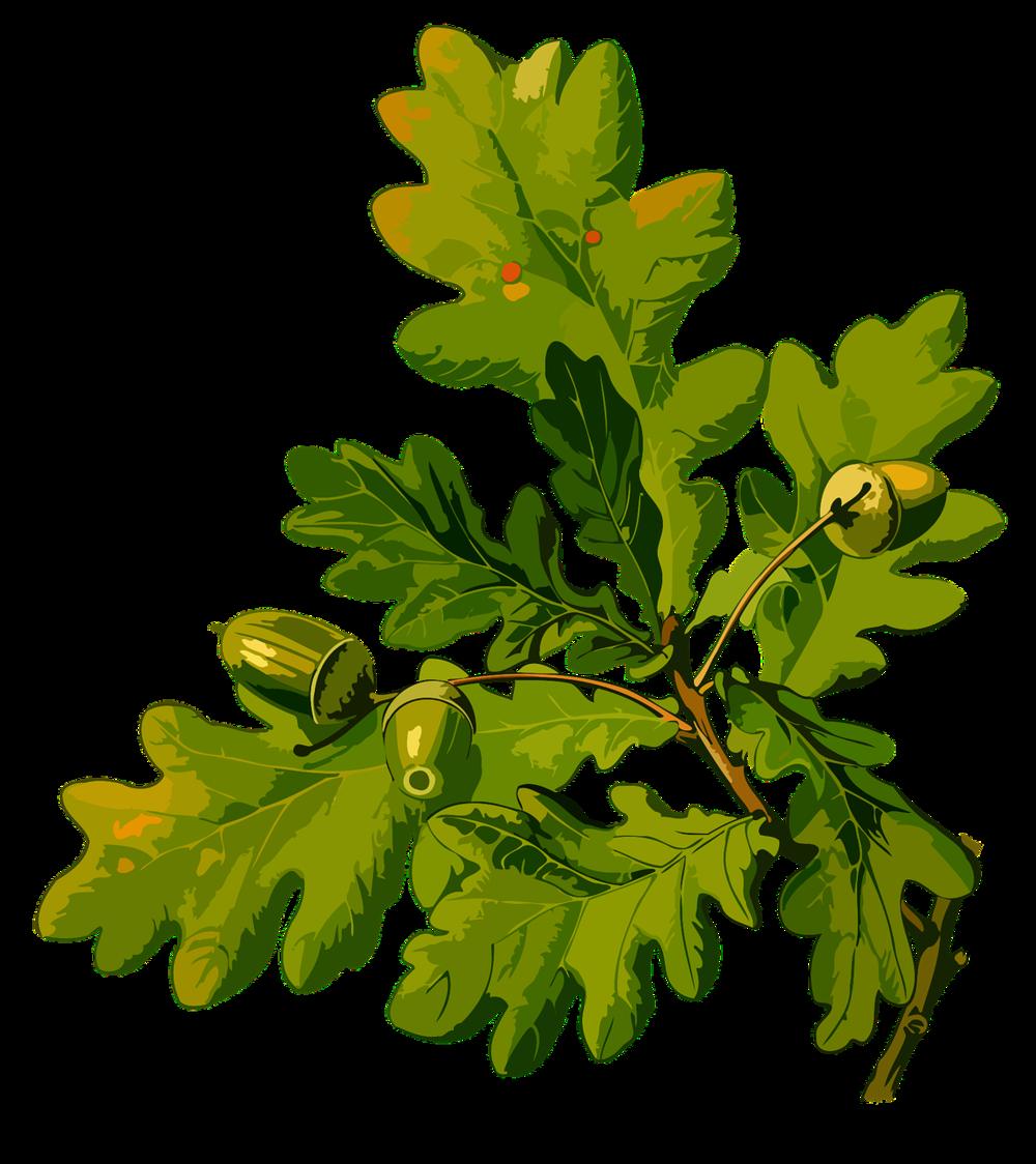 Eichenblatt.png