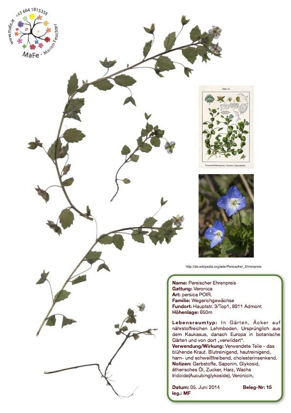 Herbarium Nr. 15 - Persischer Ehrenpreis