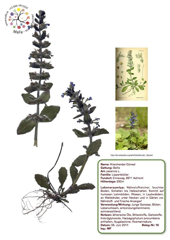 Herbarium Nr. 18 - Kriechender Günsel