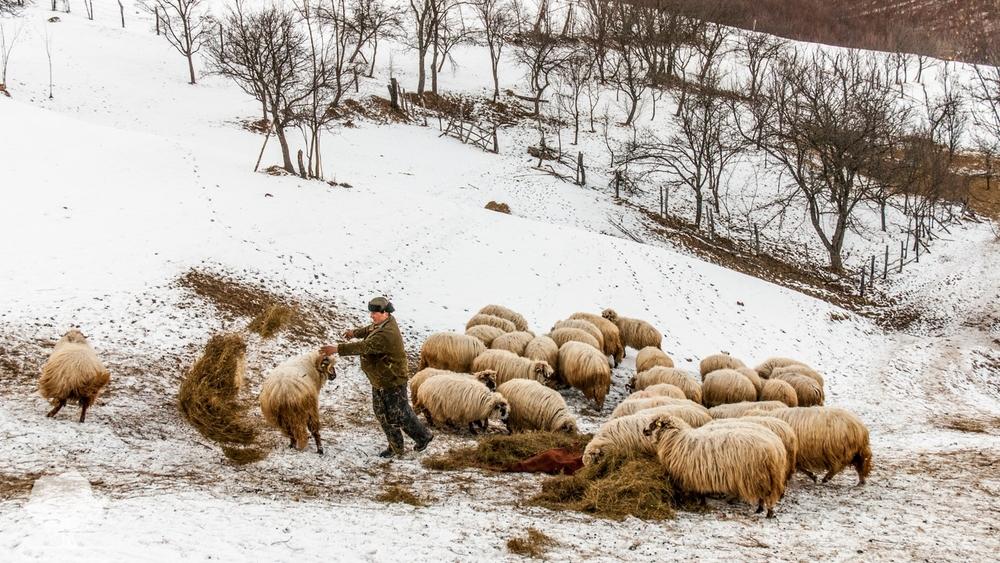Ciobanul Radu hrănind turma - George H. ©