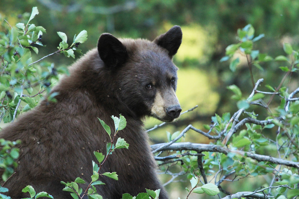 A black bear climbs a tree to gather berries in Grand Teton National Park. Each fall they gorge themselves on fruits and berries, paying little attention to any humans that might be watching them. In a rare moment, he looks towards camera and shows his beautiful face.  Wyoming, 2013.