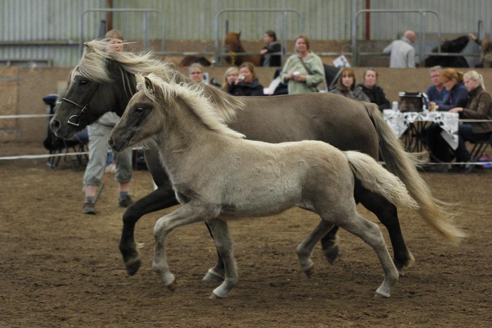 """Som vore øvrige kommende avlshopper er Dagsbrún vurderet på følskue med førstepræmie og beskrivelsen: """"Well raised foal with excellent tölt,speed, good movements and supplement""""."""
