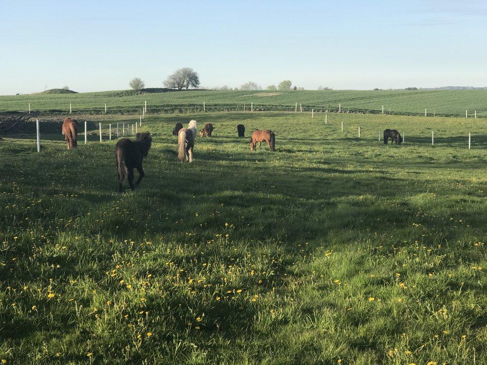 Herude på gården er der masser af frisk luft og en fantastisk udseende over omgivelserne. Vores heste er opstaldet i løsdrift og har døgnet rundt frit valg mellem ophold på foldene eller en lur i løsdriften.