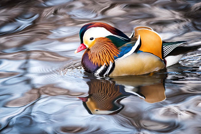 The brightly colored Mandarin Duck of Central Park.