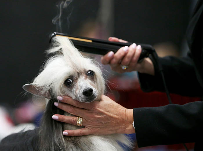 Steam releases as a dog gets his hair curled as more than 1,500 dogs competed at the March Madness Circuit dog show competition over three days at the New Jersey Convention and Exposition Center in Edison, NJ. Sunday, 03/25/2018