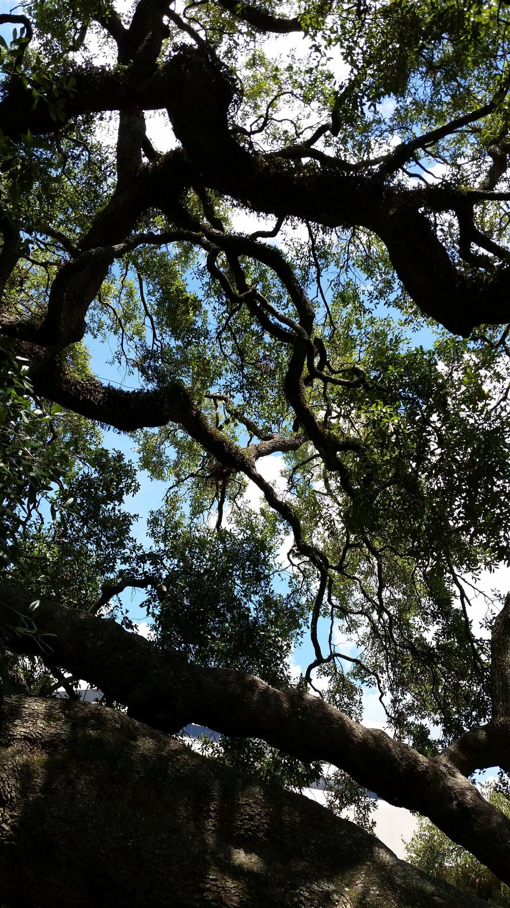 Jacksonville old tree.jpg