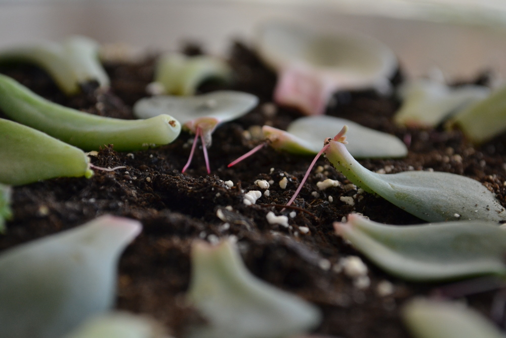 How To Propagate Succulents The Forest Fern