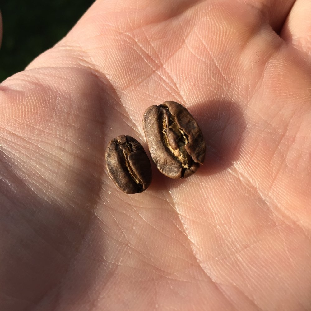 There is some variance in size though.  Within the same dose there are a handful of smaller, more typical sized coffee beans mixed in.