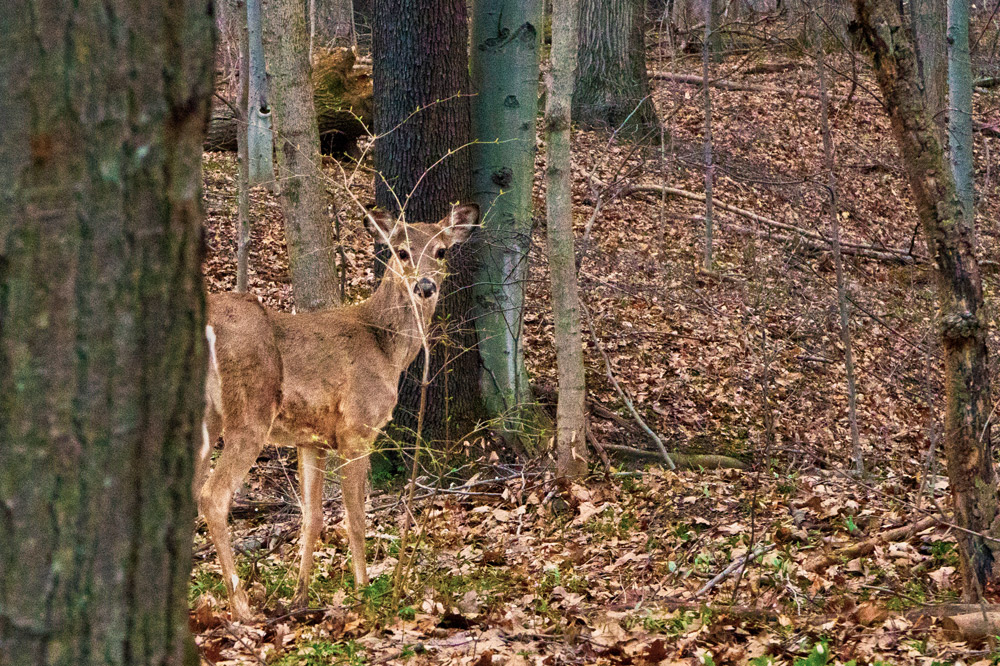 Whitetail deer spots wayward photographer. Photo by Joseph Maas
