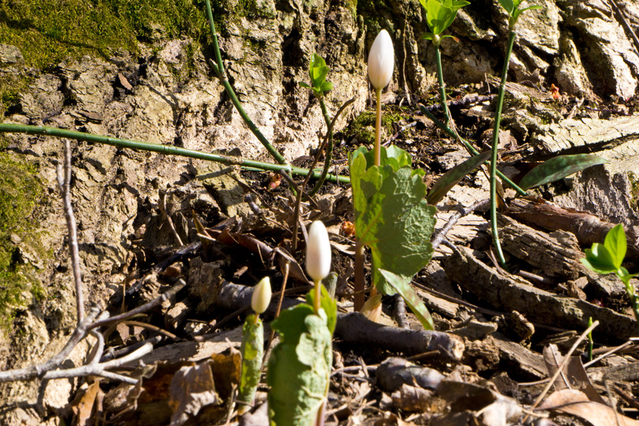 Bloodroot plant blossoms at the base of a tree. Photo by Rita Arnold