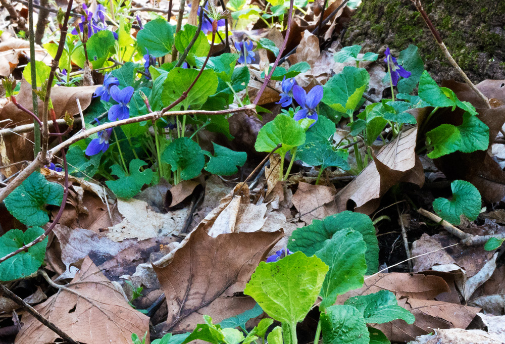 Wild Violets bring the purest color purple. Photo by Joseph Maas