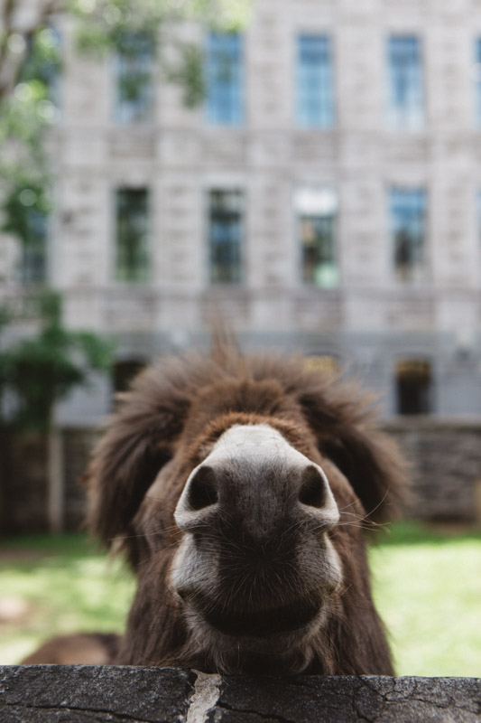 The Resident Donkey of Quebec City.