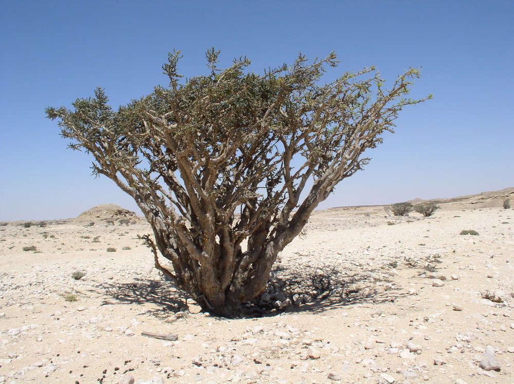 A Boswellia tree growing in the Wadi Dowkah, Dhofar, Oman.