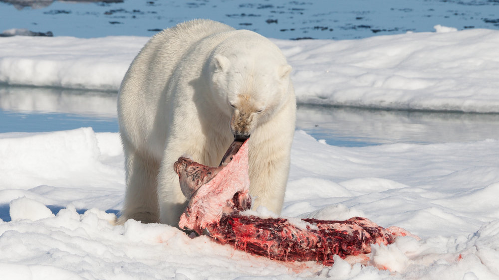 Polar_bear_(Ursus_maritimus)_with_its_prey.jpg