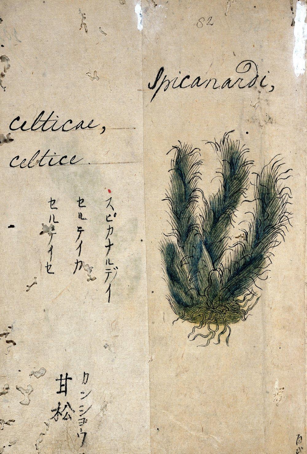 Spikenard,  Nardostachys grandiflora , from a 17th Century Japanese Herbal