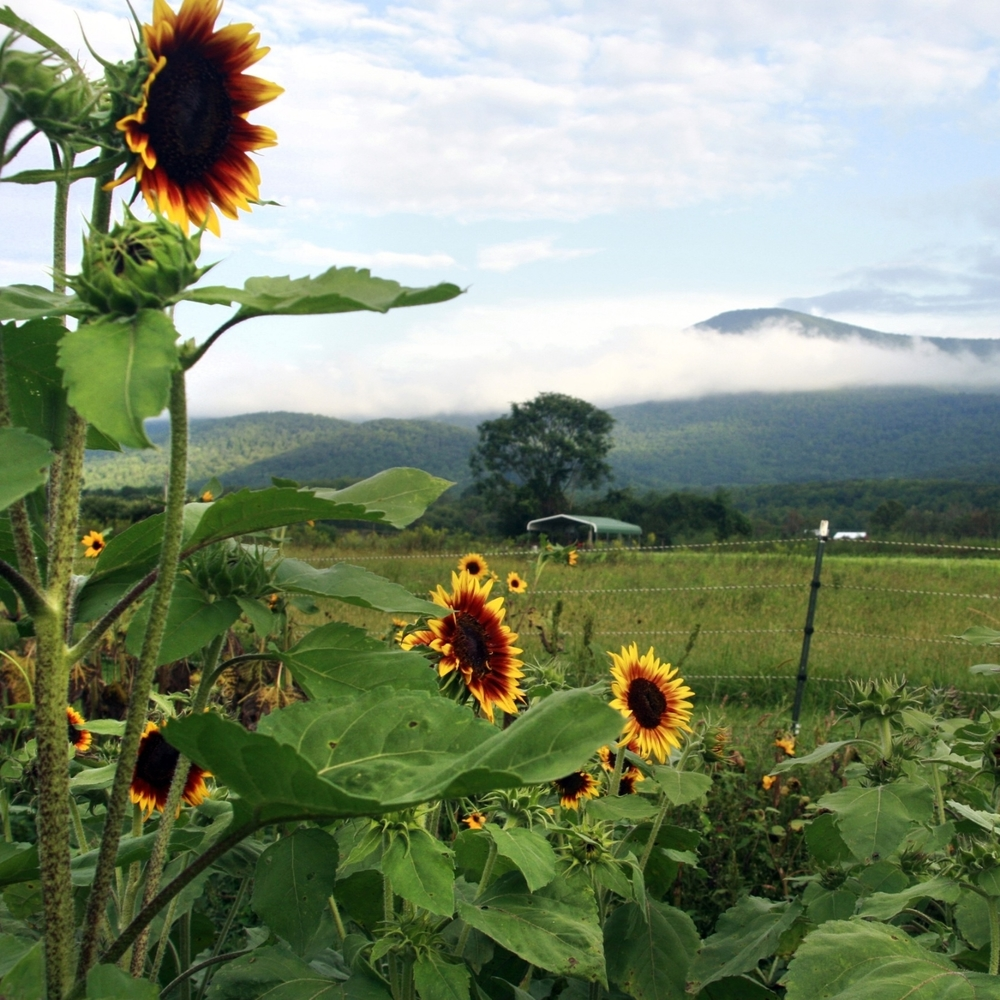 Sunflowers and the Blue Ridge Mountains