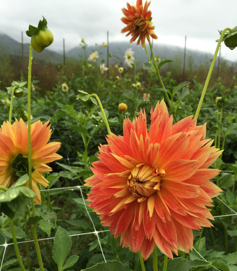 Virginia grown Dahlias in the field