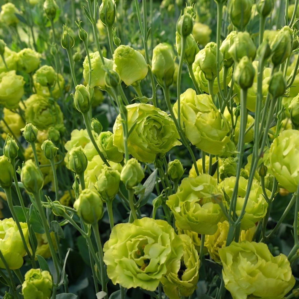 Lisianthus- Roseann Green.JPG