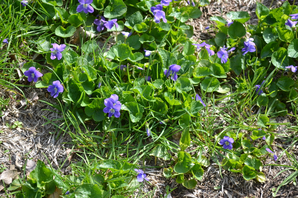 The organic weed guide elfner organic lawncare central for Grass like flowering plants
