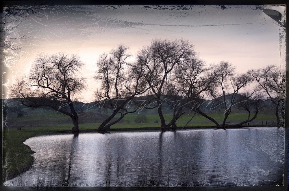 """Evening Willows"""