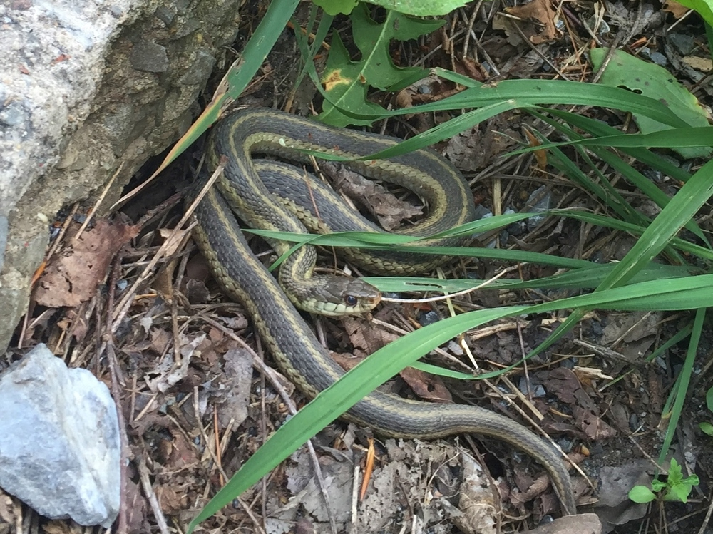 Small snake chilling near the north end of the Rexis Branch